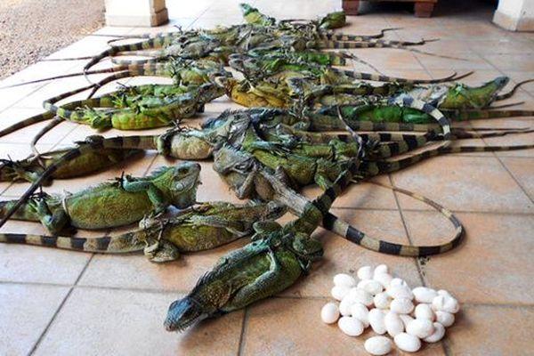 Saisie d'iguanes à Saint_Laurent du Maroni