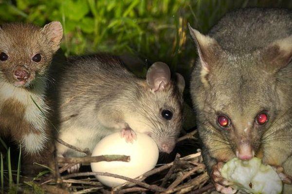 prédateurs NZ