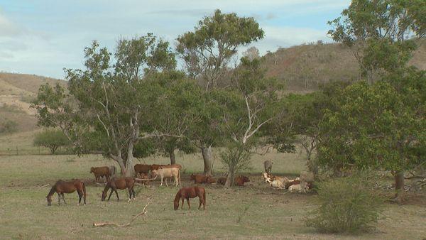 Boulouparis élevage bétail chevaux