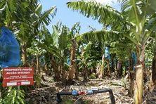 Bananeraie au Lamentin