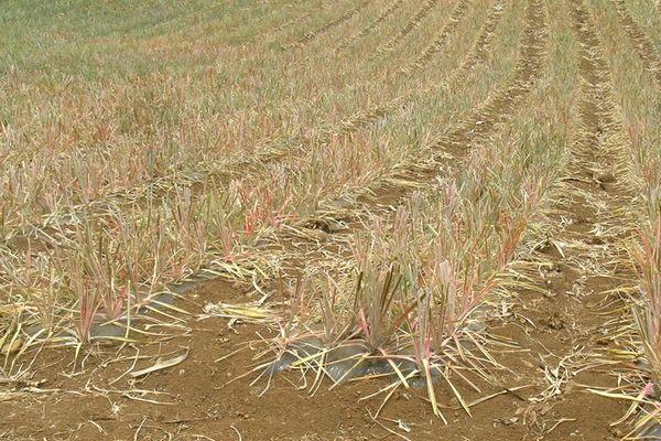 sécheresse champs d'ananas 2020