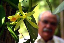 Le vanillier et sa fleur. Vanilla planifolia est le nom scientifique officiel de la plante de vanille la plus répandue en gastronomie.