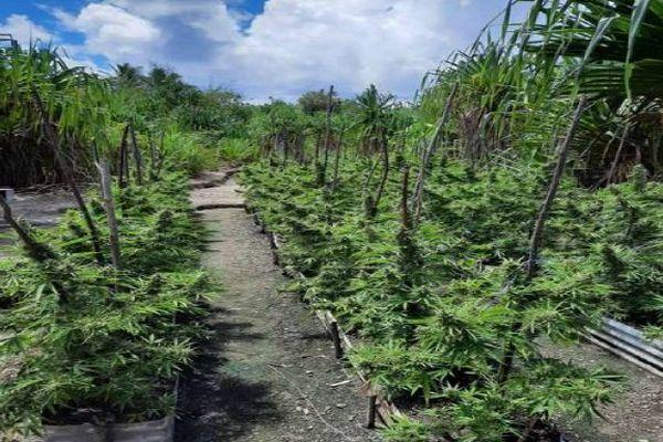 Plus de 3400 pieds de paka saisis et détruits à Huahine