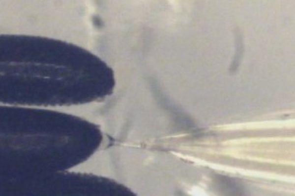 Micro-injection pour introduire la bactérie Wolbachia dans les œufs de moustique aedes aegypti