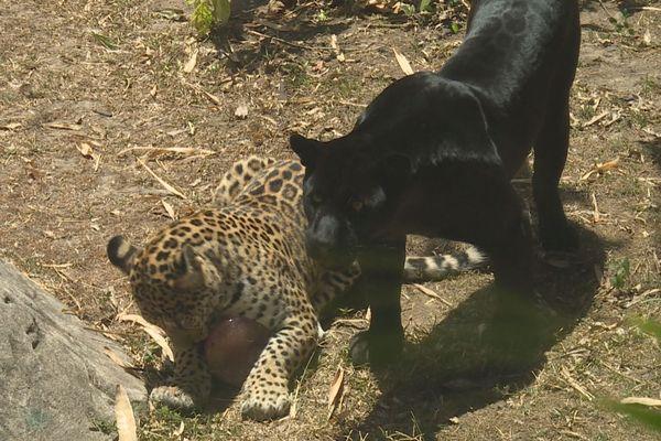 jaguar Tipunch