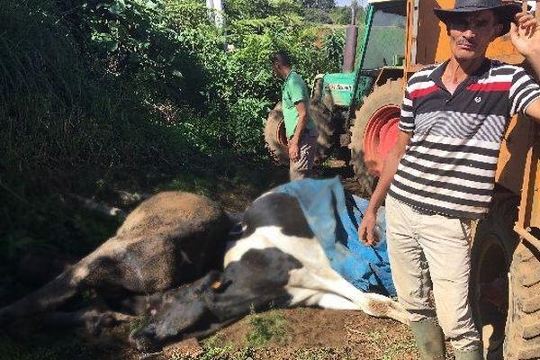 Vaches mortes leucose 1 juillet 2019