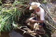 Les éleveurs de bétail tentent de les aider à se mettre au sec