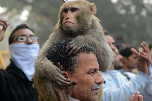 Macaques inde