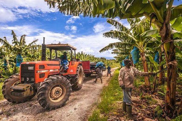 Plantation de bananiers en Guadeloupe à Capesterre-Belle-Eau en 2012