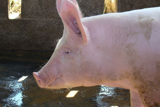Porcs de Guyane