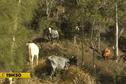 Transversale de Hienghène : des conditions difficiles pour l'élevage