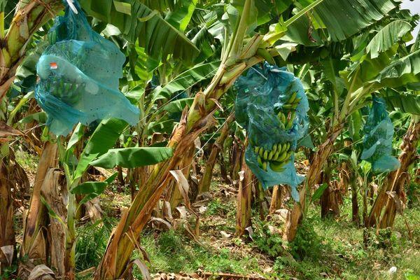 bananeraie aux Antilles