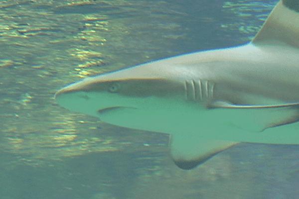 Photo requins mise à bas requins femelles