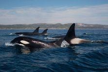 Des populations d'orques passent régulièrement dans les eaux de Saint-Pierre et Miquelon.