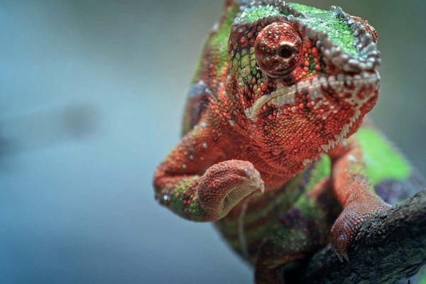 Super bébête d'Outre-mer Le caméléon panthère de La Réunion