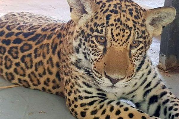 Jaguar ti punch