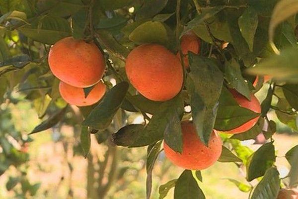 Cueillette d'agrumes à la Petite-Ile