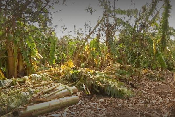 plantation bananiers détruites