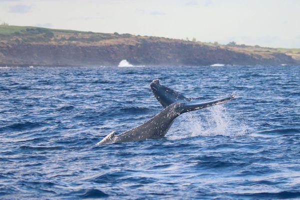 Première baleine observée au large de Saint-Leu