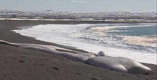 cachalot mort sur le côtes de Langlade