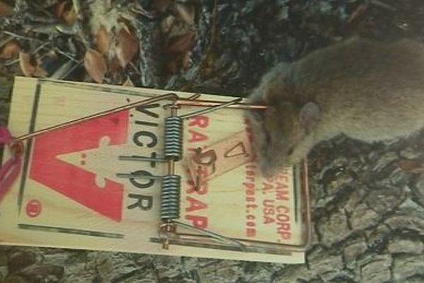 rat pris au piège