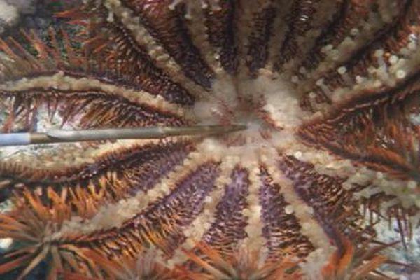 l'acanthaster une étoile de mer dévastatrice