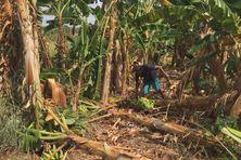 Faute d'eau, cet exploitant agricole a dû abandonner ses plantations de bananes.
