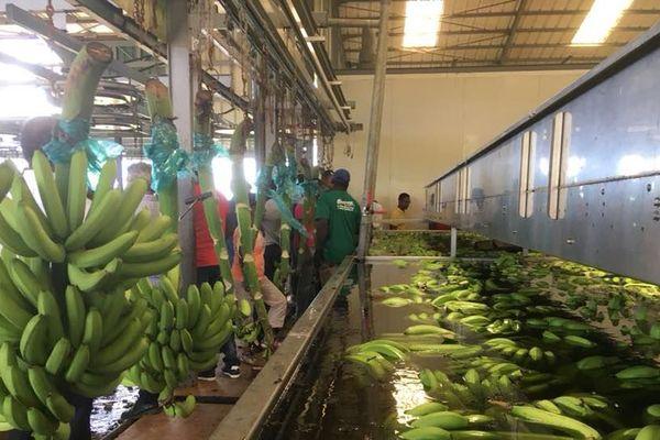 reprise production banane