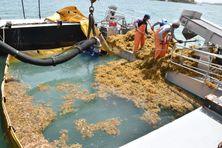 Opération de ramassage d'algues sargasses en mer au Robert.