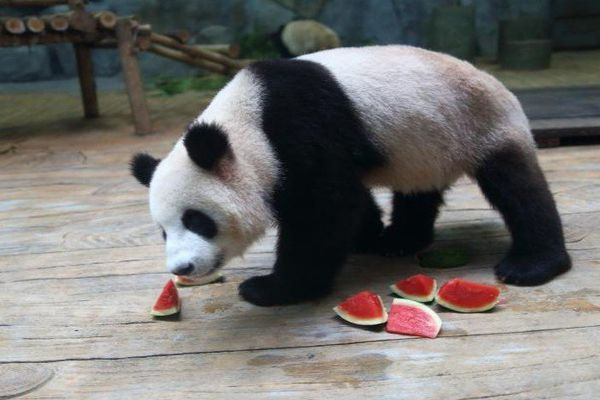 Après le kung fu, les pandas parient sur le foot