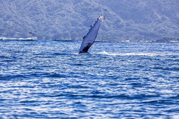 Baleine Vairao 3