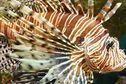 Invasion du poisson-lion : la solution est-elle dans nos assiettes ?