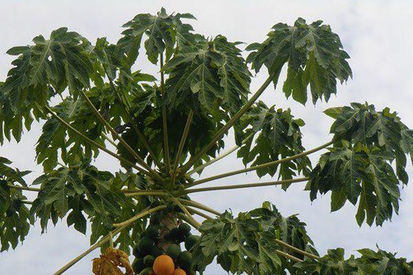 Papayer à Cayenne