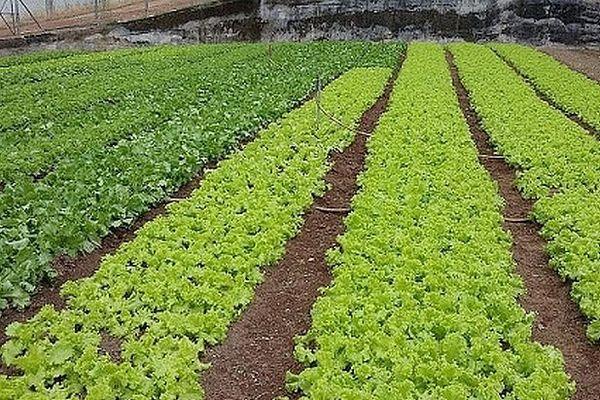 Plantation de salades aux Seychelles 2020