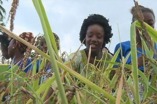récolte du riz paddy