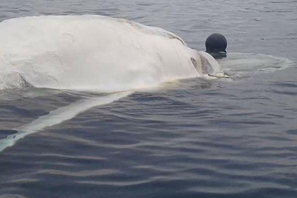 Une baleine retrouvée morte dasn les gambiers