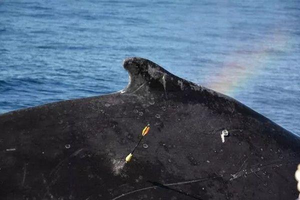 Baleine à bosse balise Argos Association Globice Réunion