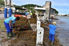 Ramassage des algues sargasses sur le front de mer à Trinité (8 janvier 2021).