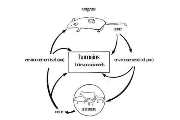 Cycle de la leptospirose (d'après Faine et al. 1999)