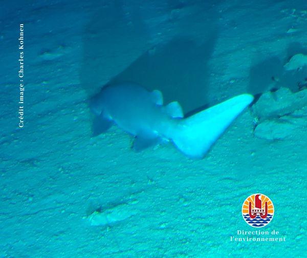 nouveau requin en polynésie ?