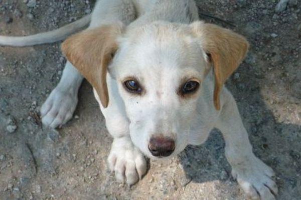 Les chiens sont capturés avant d'être battus et pendus.