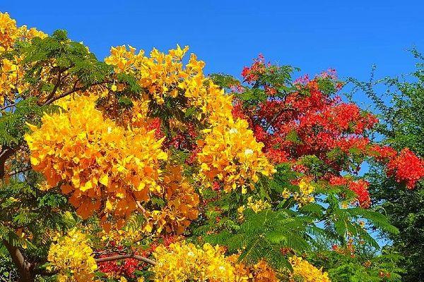 Flamboyant jaune te rouge
