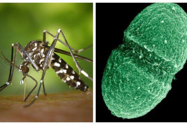 Moustique tigre et virus du zika
