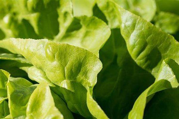 Des résidus de pesticides ont été retrouvés sur les deux échantillons de salade testés.