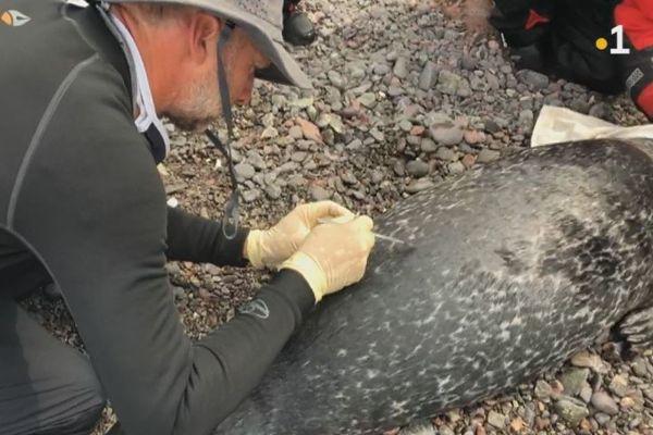 Dans l'archipel, une nouvelle campagne de balisage pour mieux connaître les phoques