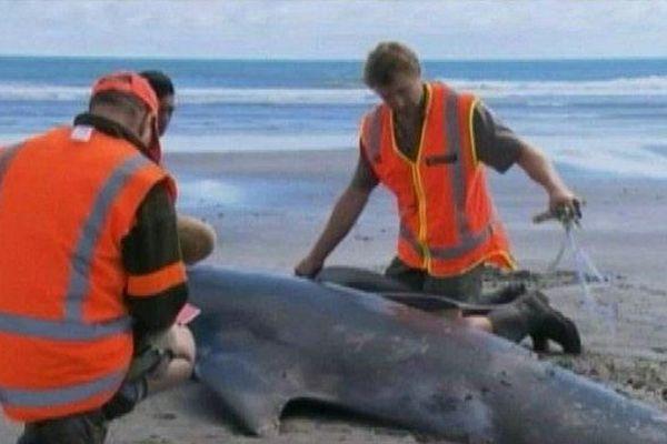 Baleines échouées NZ
