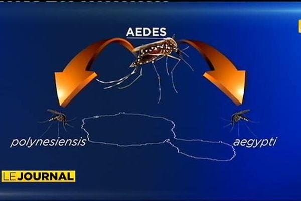 Aedes, le moustique de tous les dangers