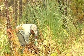 L'herbe de la pampa : une belle plante menaçante...