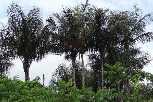 Pieds d'awaras à Guatémala