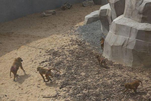 Les babouins